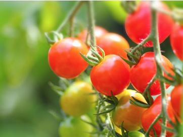 家庭菜園でトマトに害虫!! 後始末と害虫対策とは?