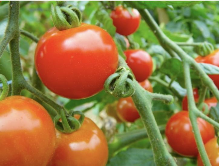 トマトの害虫 あの黒い虫は何なのか?