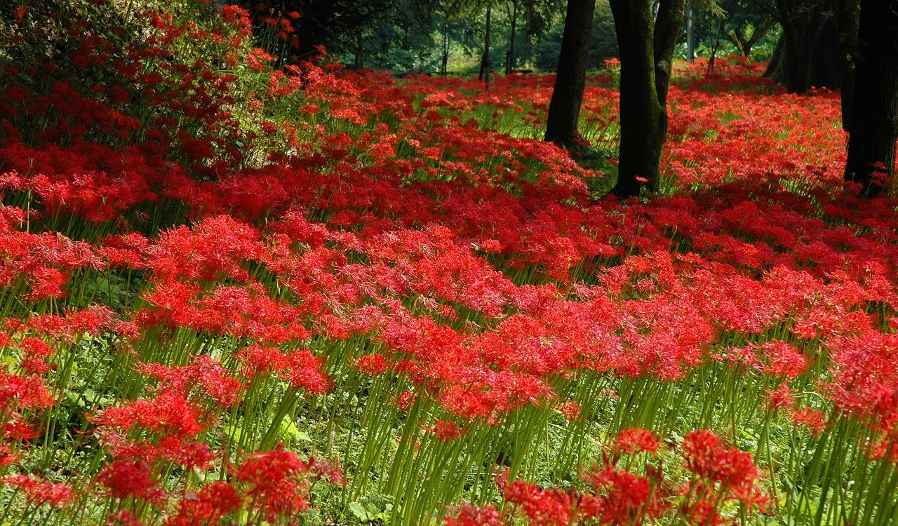 彼岸花を庭に植えるのは縁起が悪い?