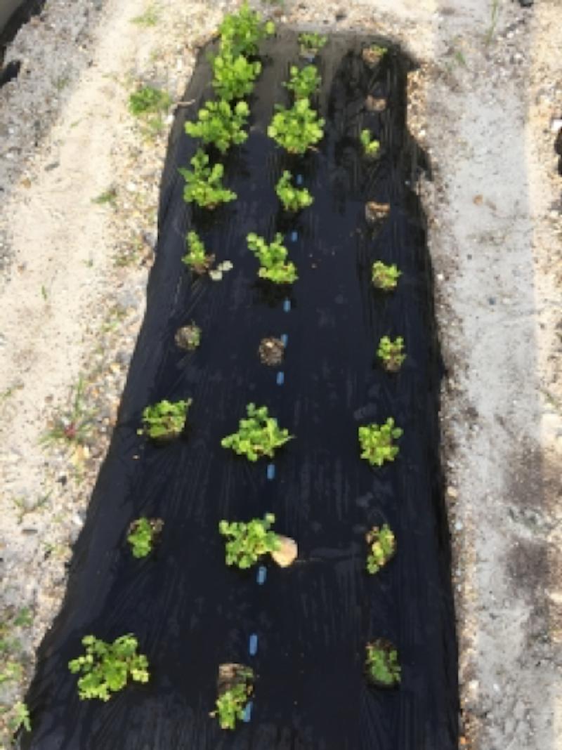 サツマイモは家庭菜園で7月植えて大丈夫なのか?