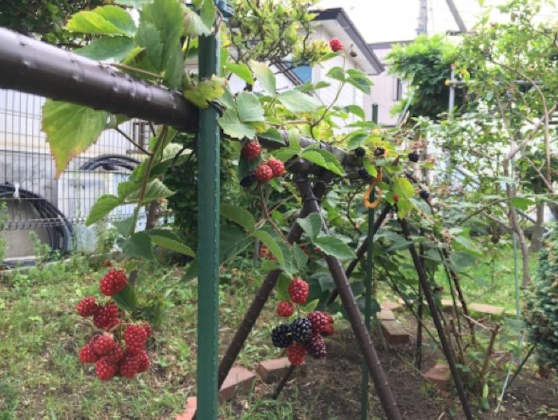 家庭菜園に木苺を植える。そのやり方を紹介です!