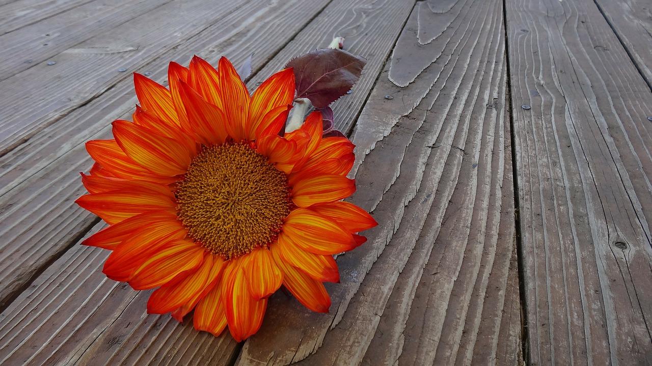 """ひまわりなのに赤色の花""""チトニア""""どんな種類の花かご紹介します!"""
