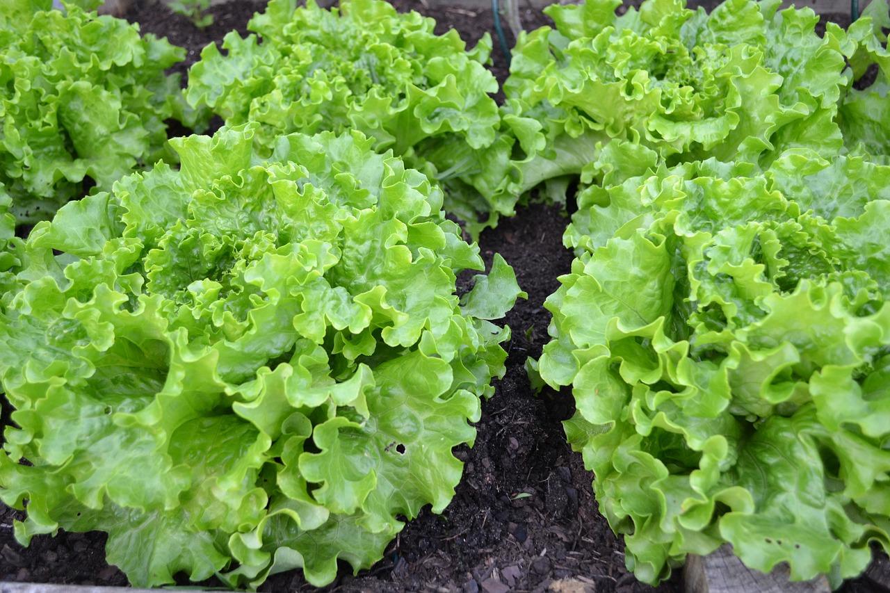 家庭菜園をはじめよう!一畳の広さでも育てられる野菜は?