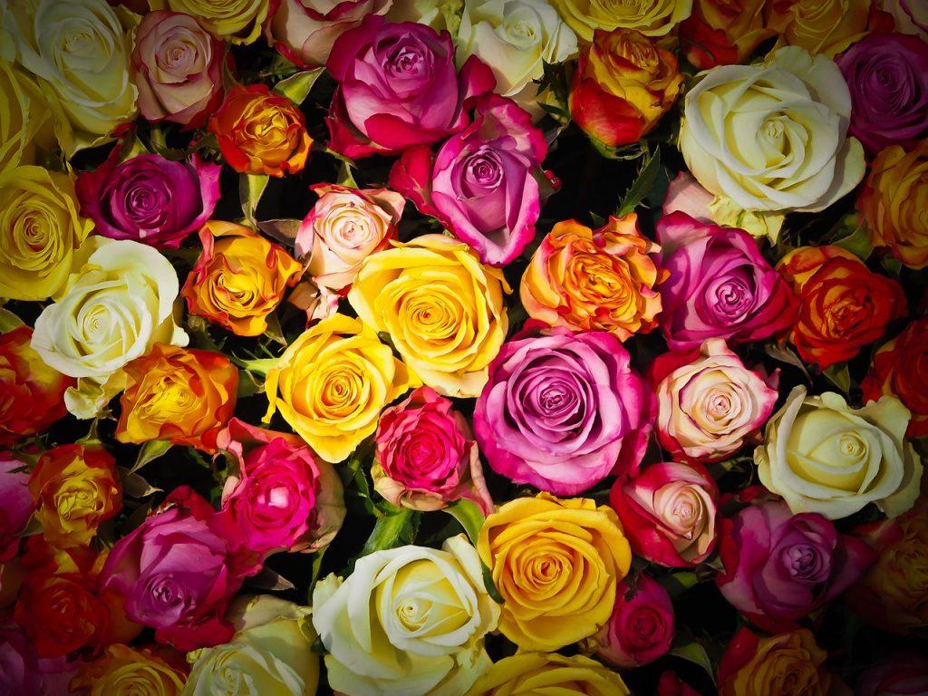 ブルームーンバラの特徴は?どのように育てれば綺麗な花を見れるの?