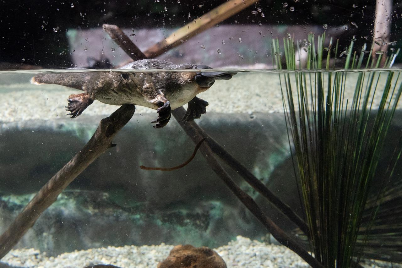 カモノハシの特徴と生態とは?毒針や目をつむって泳ぐって本当?生息地は?日本にもいる?
