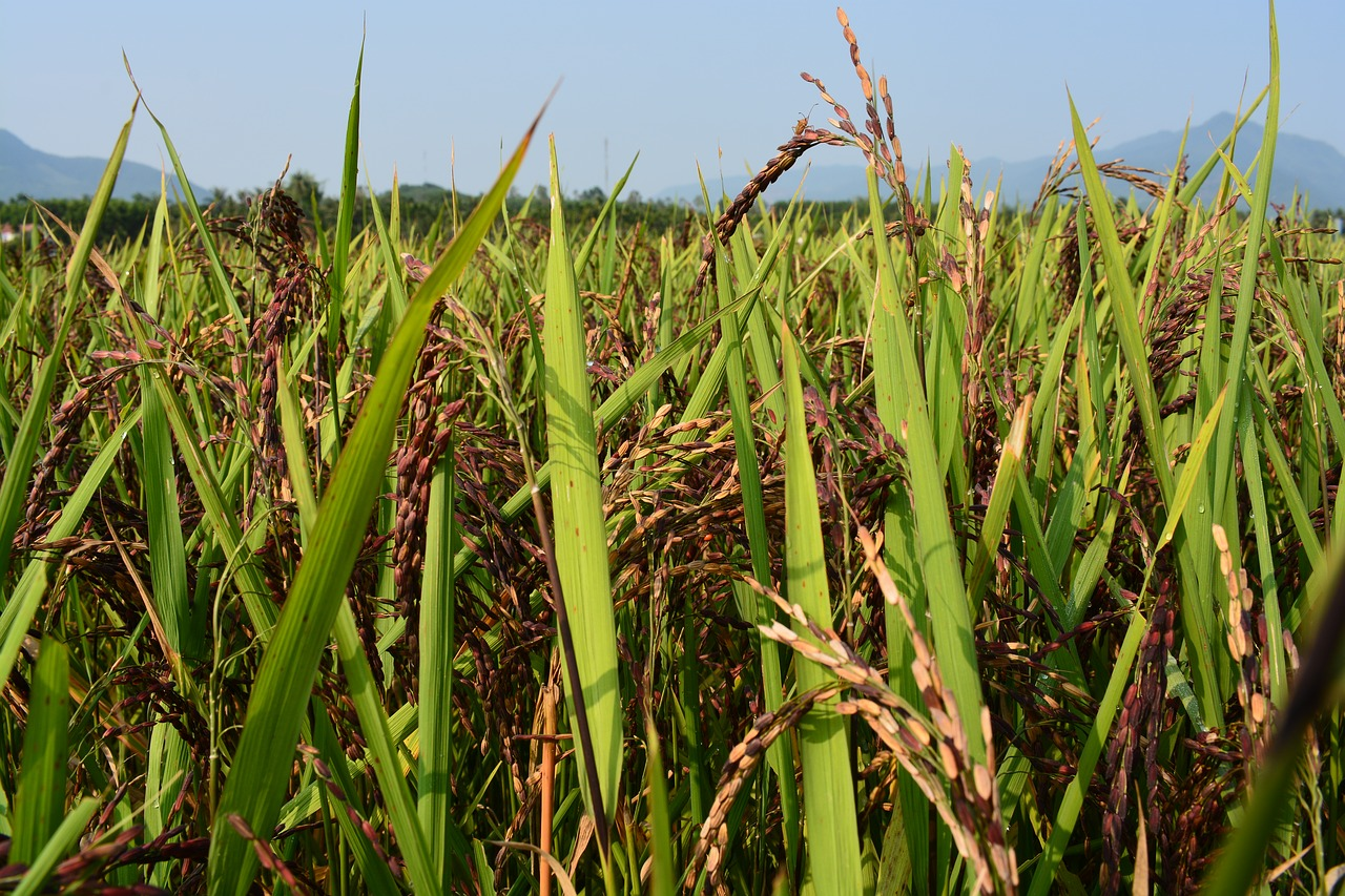 酵素玄米は栄養がすごい?嬉しい効果、効能とは?