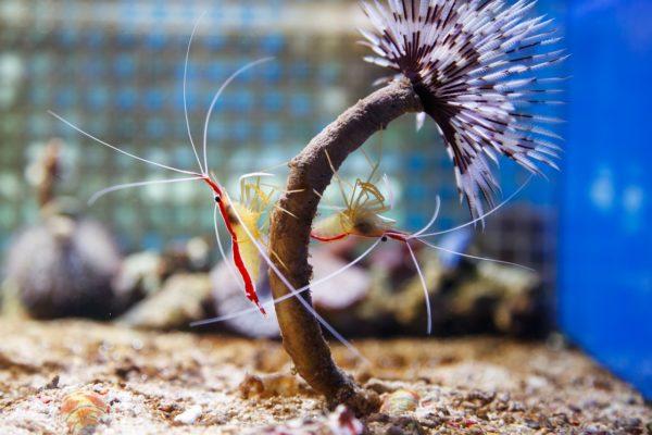 エビは虫なの?昆虫になる?甲殻類?ザリガニとの違いや足の数は?